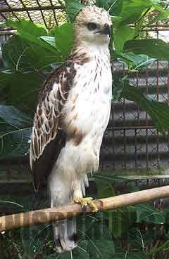 elang brontok putih atau elang che-lm