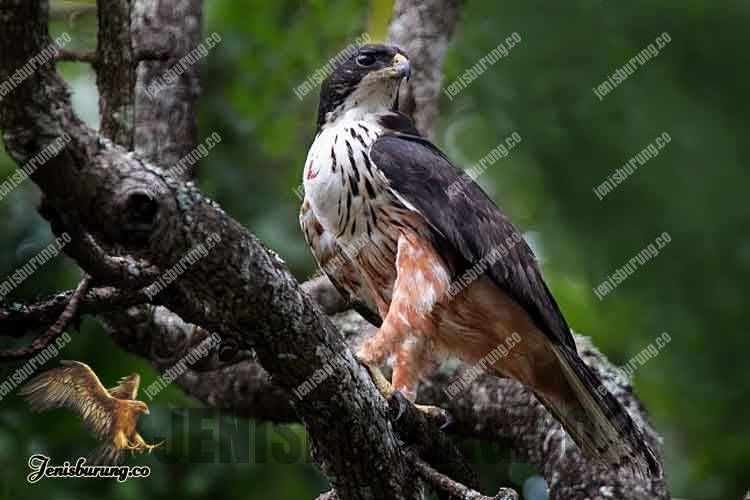 Elang Perut Karat, Rufous-bellied eagle (Lophotriorchis kienerii)