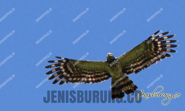 Ciri-ciri elang ekor panjang, Long-tailed Honey-buzzard (Henicopernis Longicauda)