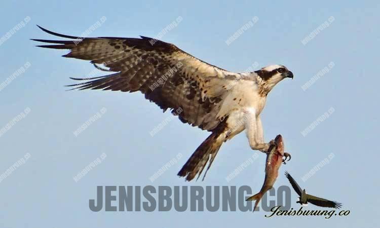 Ciri-ciri elang tiram, Osprey (Pandion haliaetus)
