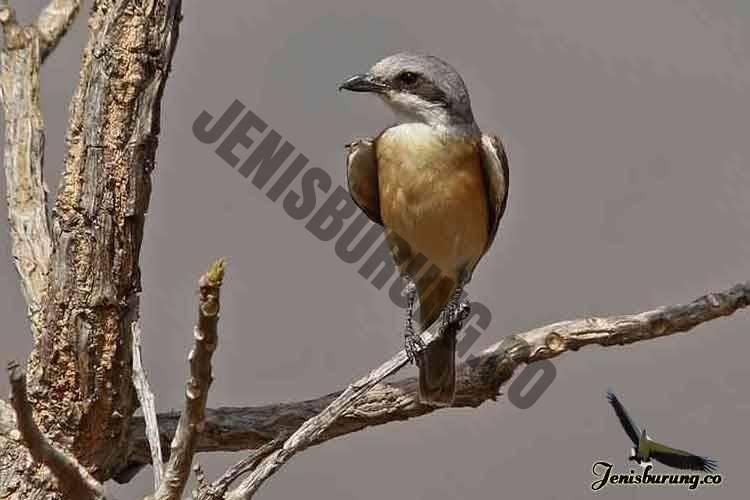 jenis burung cendet Emin's shrike, Lanius gubernator