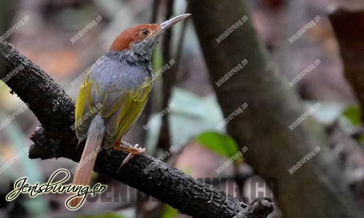 Grey-backed Tailorbird (Orthotomus derbianus)