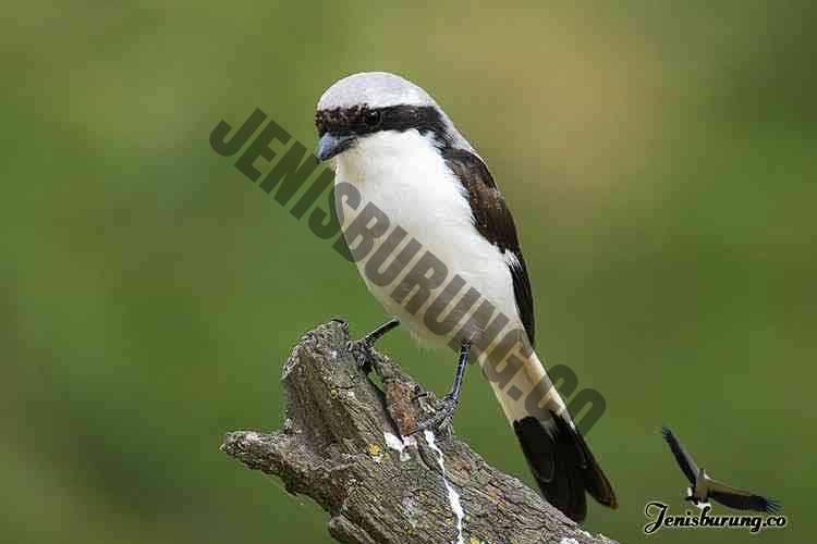 jenis burung cendet Grey-backed fiscal, Lanius excubitoroides