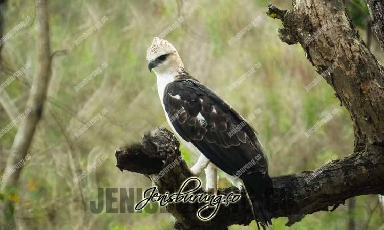 Elang Flores, Flores Hawk-eagle (Nisaetus Floris)