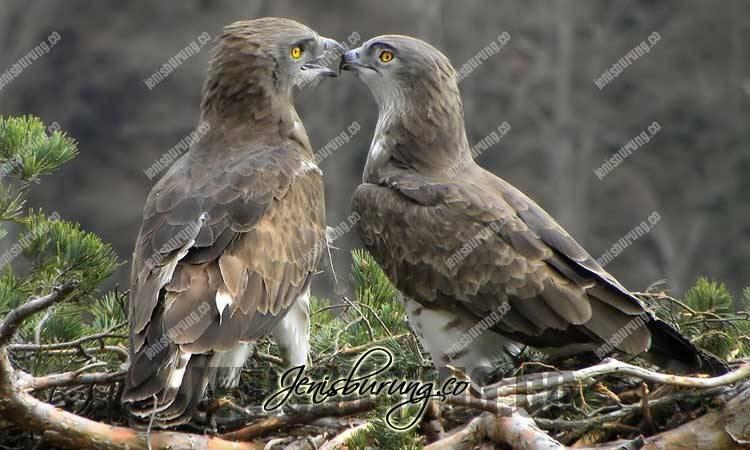 Harga Elang Ular Jari Pendek, Short-toed Snake-eagle (Circaetus Gallicus)