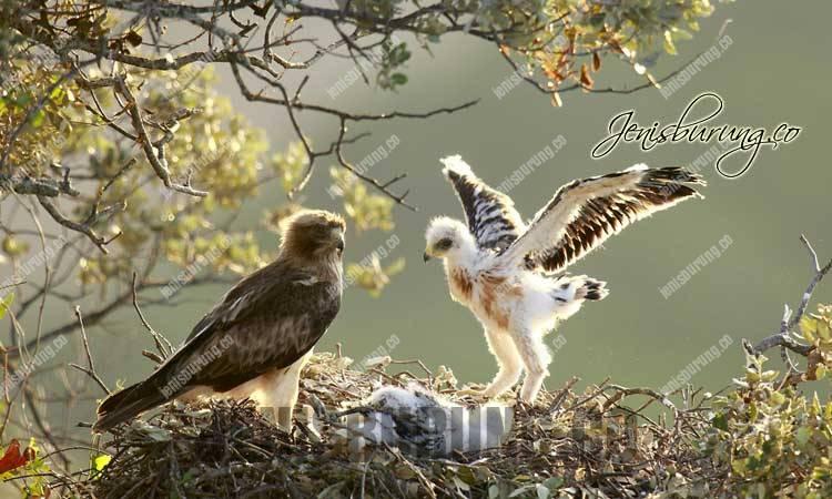 Elang Setiwel, Booted Eagle (Hieraaetus Pennatus)