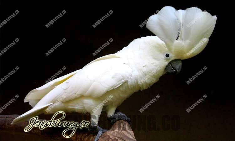 Harga kakatua putih, harga kakatua alba, Kakatua Putih, White Cockatoo (Cacatua alba)