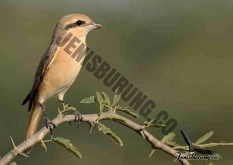 jenis burung cendet Isabelline shrike, Lanius isabellinus