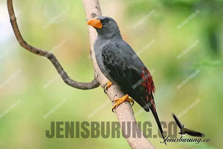 Jalak Rio, Grosbeak starling (Scissirostrum dubium)