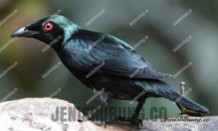 Jenis Burung Cucak Keling, Perling Kumbang (Asian Glossy Starling)