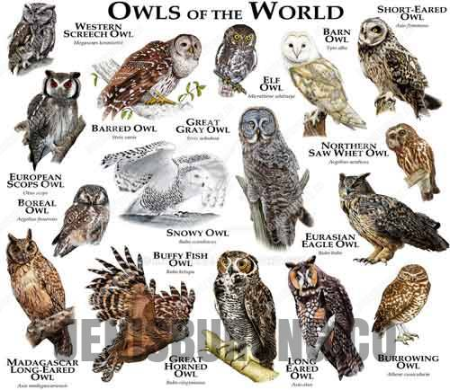 jenis burung hantu (owl species)