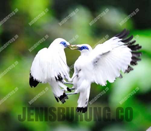 Jenis Burung Jalak (Staling)