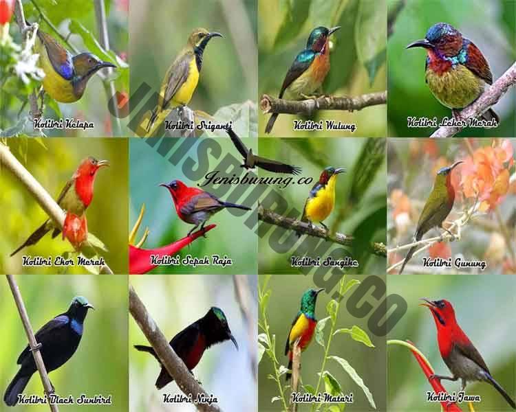 jenis burung kolibri lengkap dengan gambar