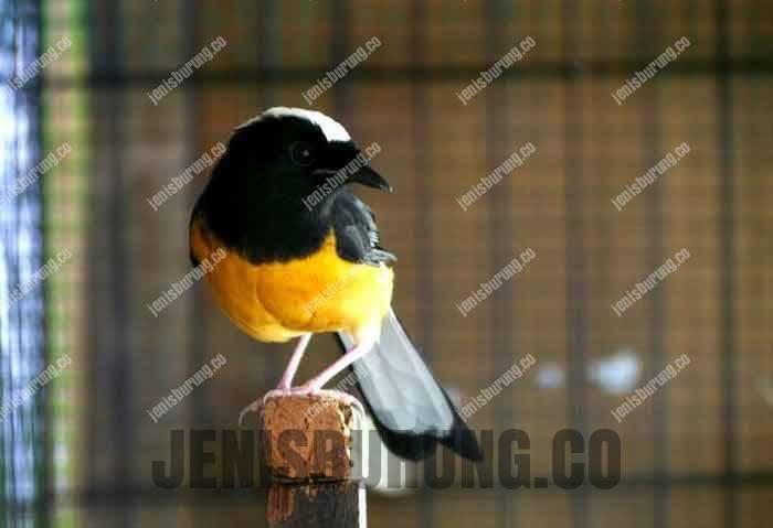 jenis burung murai batu filipina