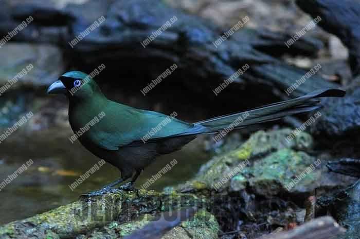 jenis burung murai batu irian