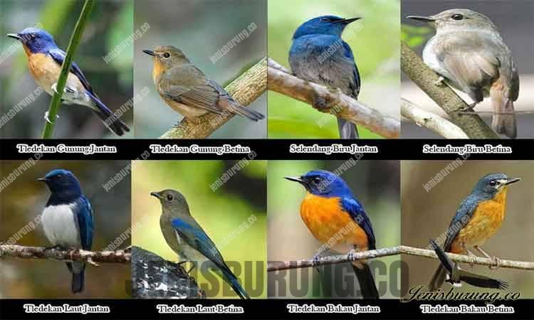 Jenis Burung Tledekan Lengkap dengan Gambarnya