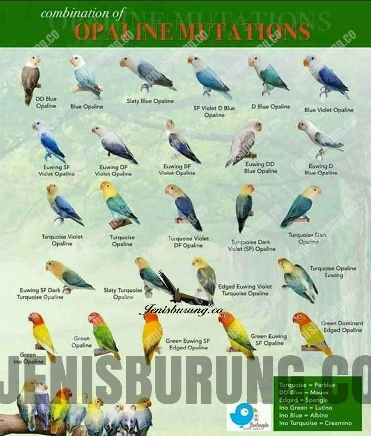 Jenis Mutasi Lovebird Biola dan Harga Lovebird Biola