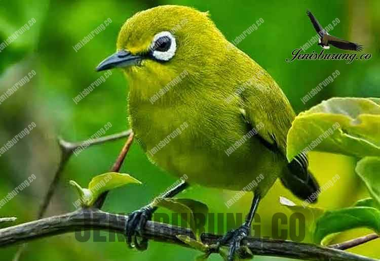 Jenis burung Pleci zosterops Dada kuning Bali