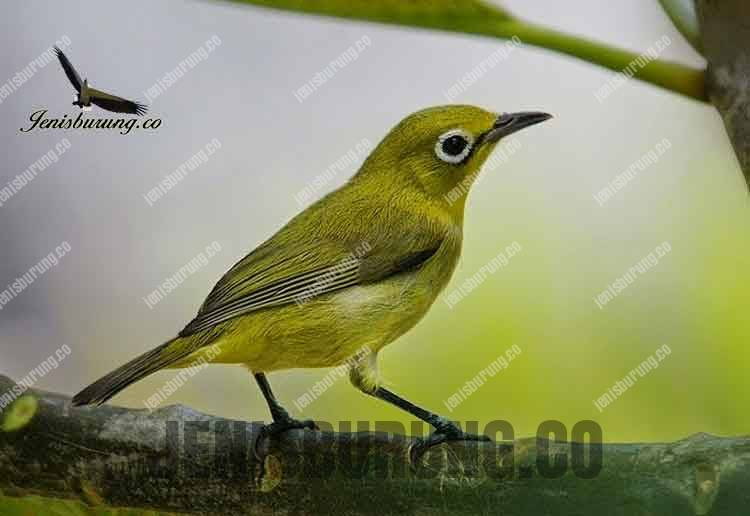 Jenis burung Pleci zosterops Dada kuning Mata cokelat