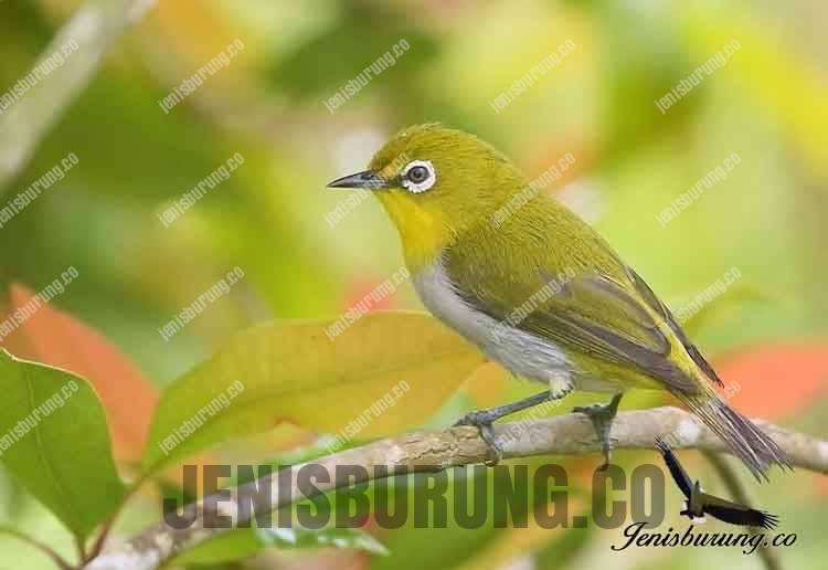 Jenis Burung Pleci Zosterops Montanus