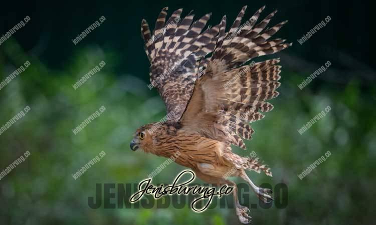 Jenis burung hantu, Beluk Ketupa, Buffy Fish-owl, Ketupa Ketupu, bubo ketupu, makan burung hantu buffy, cara melatih burung hantu, burung hantu full skil