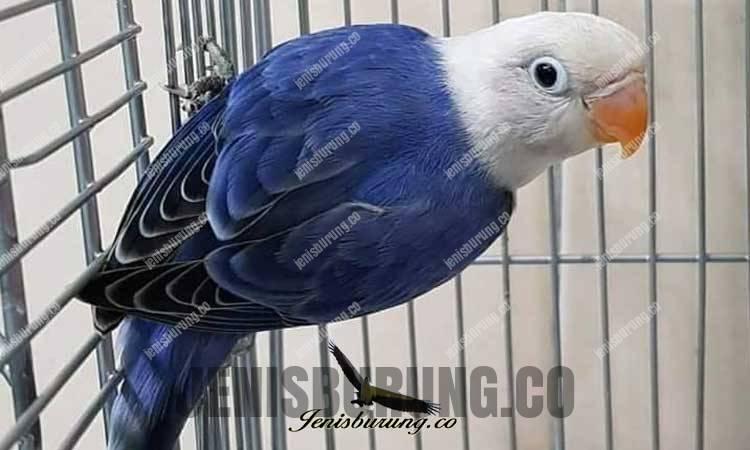 Jenis lovebird biola biru