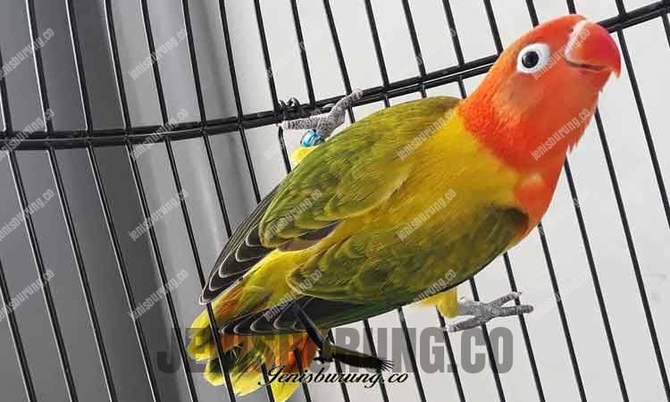 Jenis lovebird biola euwing gold