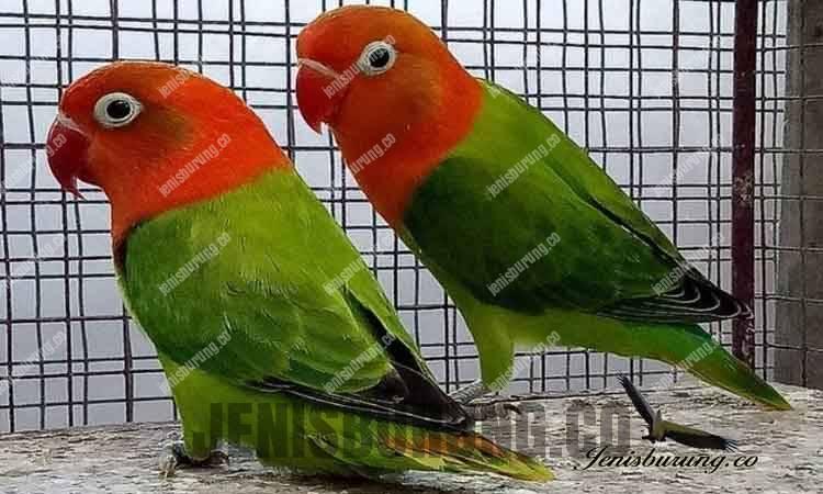Jenis lovebird biola green