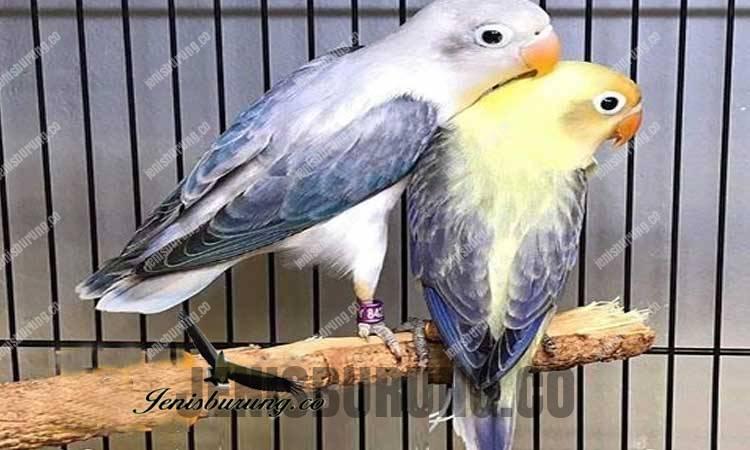 Jenis lovebird biola pb euwing dark vio