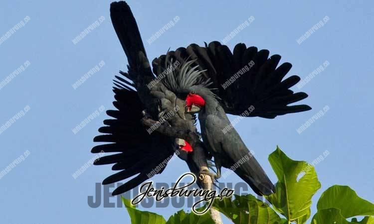 Kakatua Raja, Palm Cockatoo (Probosciger aterrimus), kakatua raja jantan dan betina