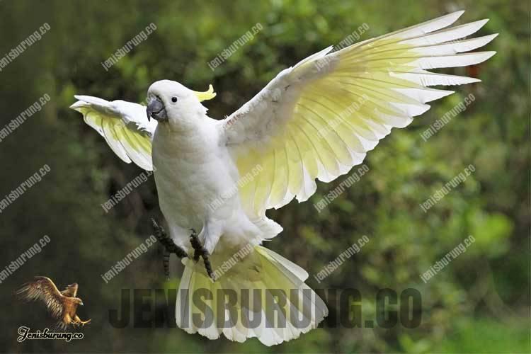 Kakatua koki, kakatua jambul kuning, Sulphur-crested cockatoo (Cacatua galerita)