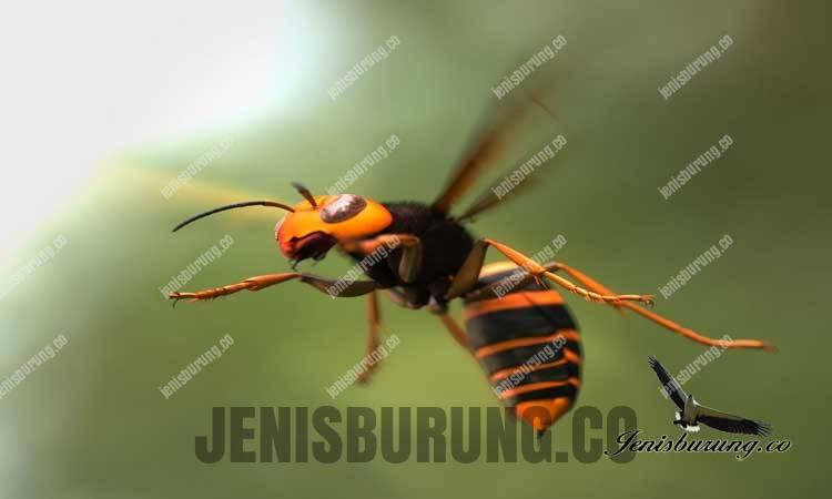 Lebah hornet Serangga Berbahaya Yang Bisa Membuat Burung Mati