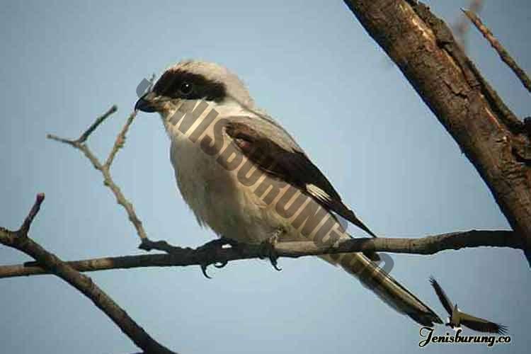 jenis burung cendet Lesser grey shrike, Lanius minor