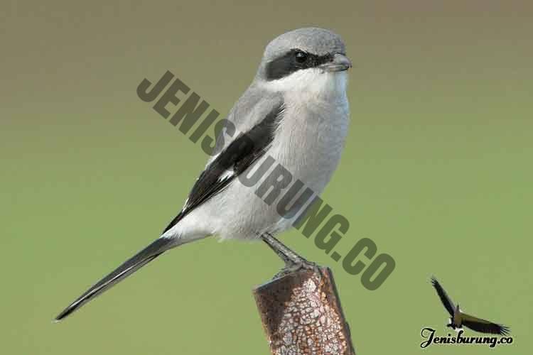 jenis burung cendet Loggerhead shrike, Lanius ludovicianus