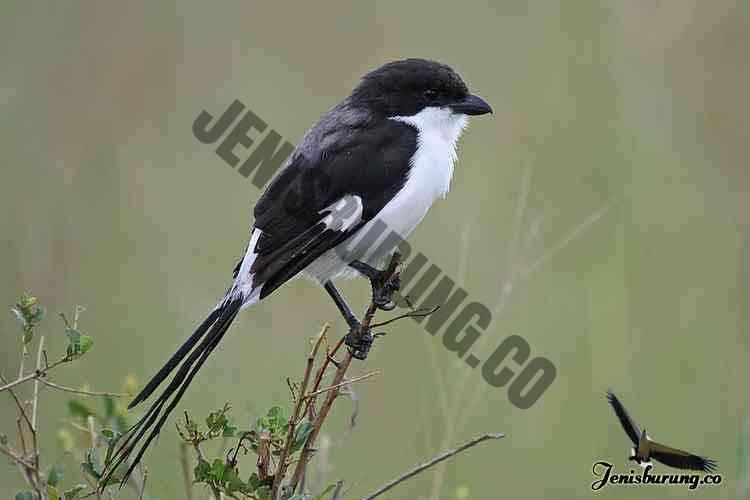 jenis burung cendet Long-tailed fiscal, Lanius cabanisi