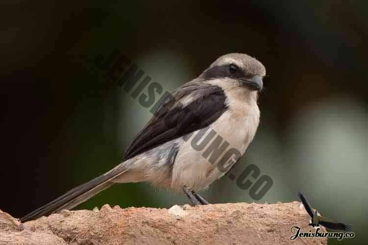 jenis burung cendet Mackinnon's shrike, Lanius mackinnoni