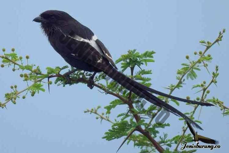 jenis burung cendet Magpie shrike, Urolestes melanoleucus