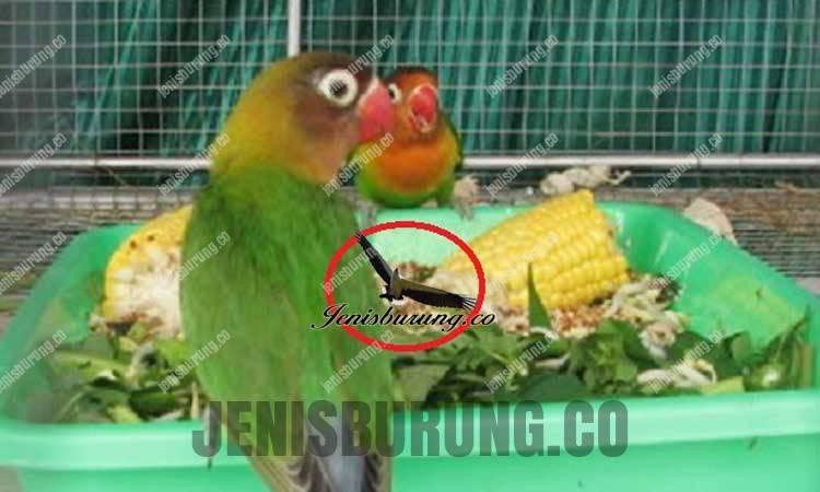 Makanan dan Vitamin Lovebird Agar Ngekek Panjang