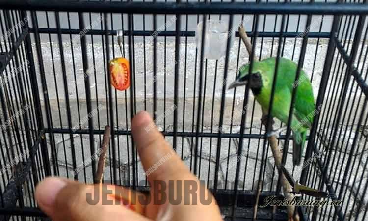 Manfaat Tomat Bagi Burung Cucak Ijo