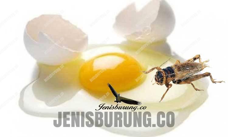 Manfaat putih telur dan jangkrik untuk burung kicau