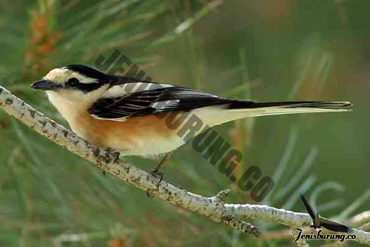 jenis burung cendet Masked shrike, Lanius nubicus