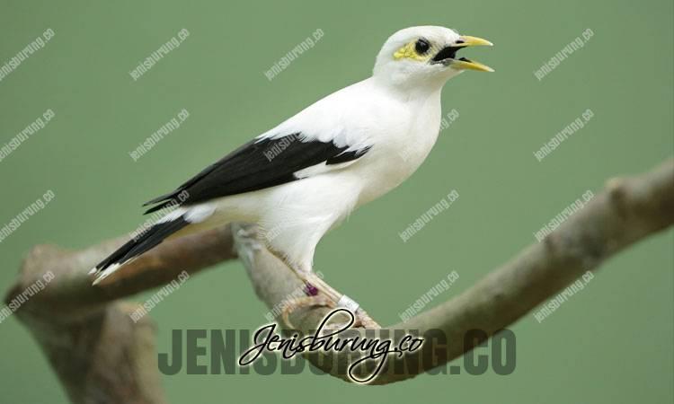 Merawat jalak putih, harga jalak putih, Jalak Putih, Black-winged Starling (Acridotheres Melanopterus)