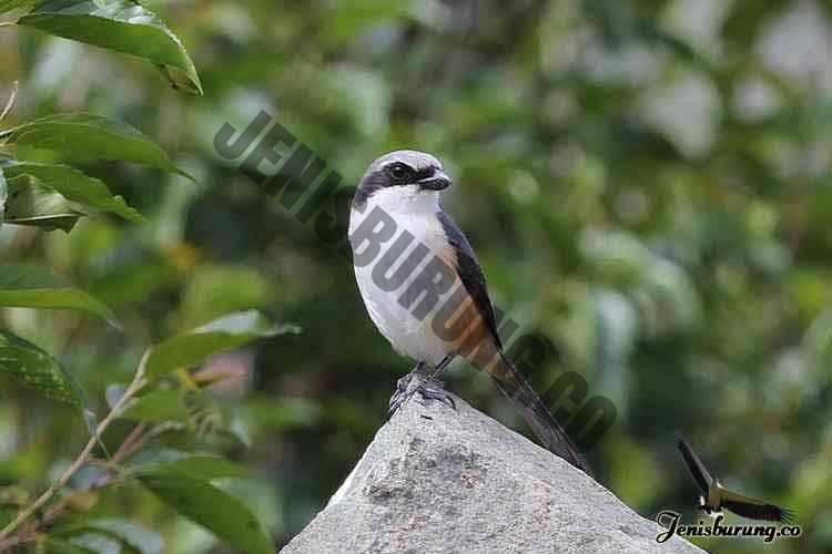 jenis burung cendet Mountain shrike atau Grey-capped shrike, Lanius validirostris