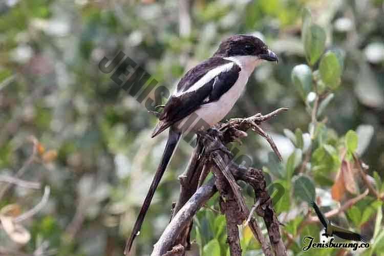 jenis burung cendet Northern fiscal atau Fiscal Shrike, Lanius humeralis
