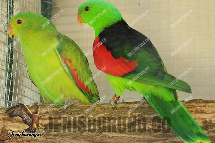 Nuri Raja Papua, Red-winged parrot (Aprosmictus Erythropterus)