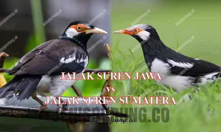 perbedaan jalak suren jawa dan jalak suren sumatera