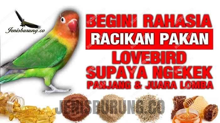 Porsi Makanan Lovebird Agar Gacor dan Siap Lomba