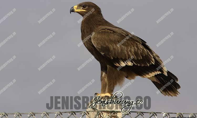Rajawali Totol, Greater Spotted Eagle (Clanga Clanga), elang bintik, harga burung rajawali totol, rajawali totol full skil