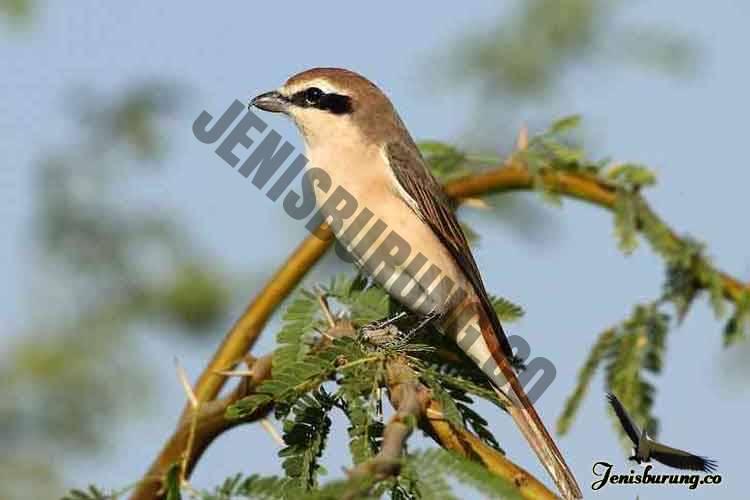 jenis burung cendet Red tailed shrike Lanius phoenicuroides