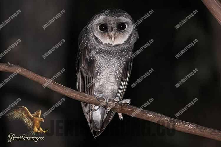 Serak Hitam, Greater Sooty Owl, (Tyto tenebricosa Gould)